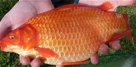 ramuan membuat umpan ikan mas ramuan umpan mancing ikan mas air hijau tips jitu teknik