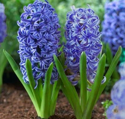 Schöne Balkonpflanzen by Hyazinthen Herrliche Fr 252 Hlingsblumen Bringen Stimmung Ins