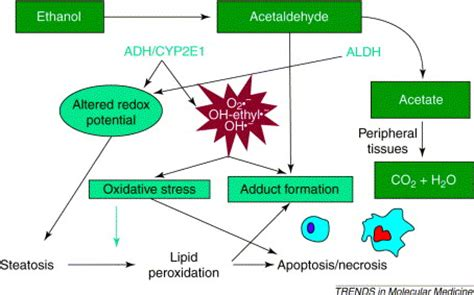 Stewart Has Liver Disease by Alcoholic Liver Disease New Insights Into Mechanisms And