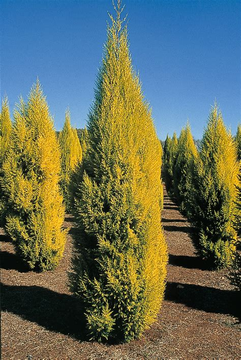 cupressus macrocarpa goldcrest life   garden