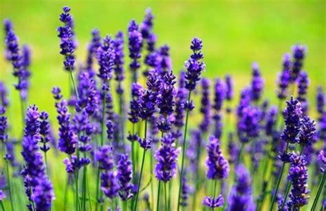 harga bibit bunga lavender terbaru februari 2019