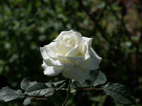 imagenes de flores rosas blancas fotos rosas blancas fondos rosas blancas fondos de