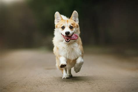 corgis that are adorably in herds of corgis will through emerald downs in an