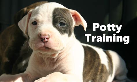 how to pitbull puppies how to potty a pitbull puppy pit bull house tips housebreaking