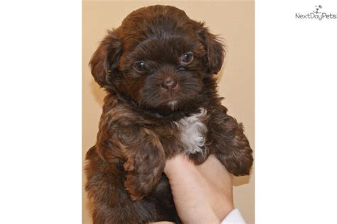 shih poo puppies breeders pin shih poo breed puppies black intellivision on