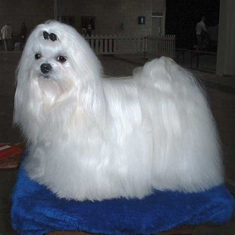 Do Maltese Dogs Shed Hair by 10 Dogs That Don T Shed Much For With Allergies
