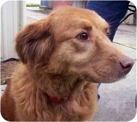 golden retriever rescue ns trudi adopted jacksonville fl scotia duck tolling retriever golden
