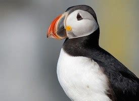 atlantic puffin identification all about birds cornell