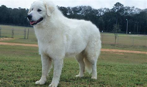 kuvasz puppies kuvasz breed information