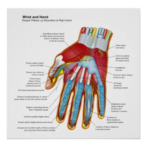 human wrist diagram anatomical diagram of the human and wrist poster zazzle