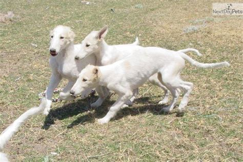 borzoi puppies for sale borzoi breederspuppies for sale breeds picture