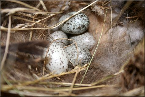 photos to help you id house sparrow nests and eggs do not