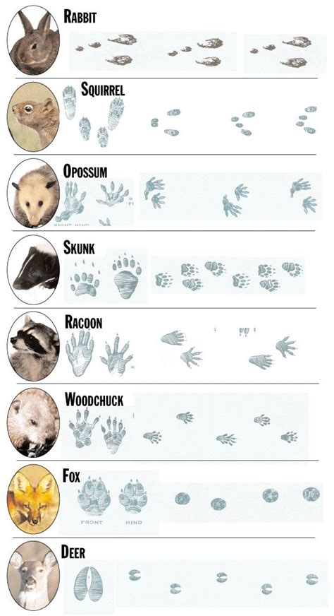 printable animal tracks identification 134 best animal tracks footprints images on pinterest