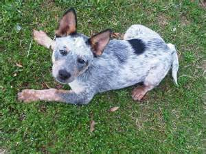 blue heeler puppies for sale in ohio 17 best ideas about blue heelers on blue heeler cattle dogs and