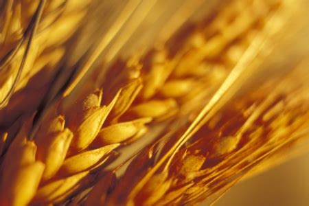Modification Liverpool by Scientists Create Map Of The Wheat Epigenome News