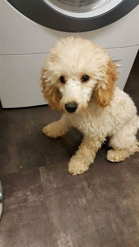 mini poodle for sale miniature poodle for sale rotherham south