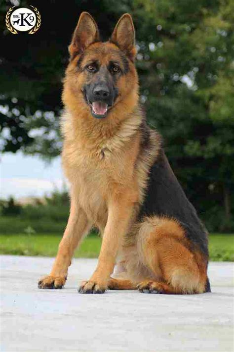 k9 dogs for sale protection dogs for sale total k9