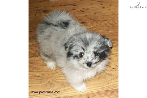 blue parti pomeranian pin blue merle parti on