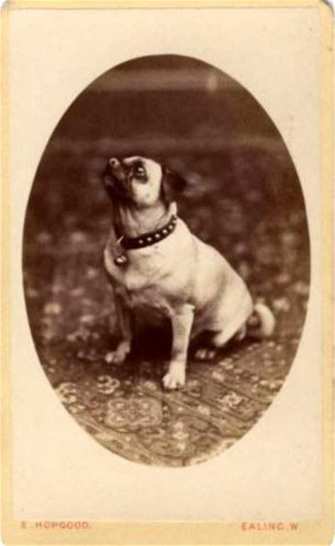 vintage pug 31 best images about pugs vintage on photos tricycle and antiques