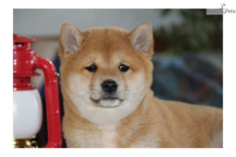 shiba inu puppies for sale near me shiba inu puppy for sale near lancaster pennsylvania 6095faff fed1