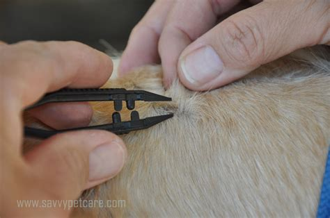 tick removal from safely remove a tick how to safely remove a tick from your pet