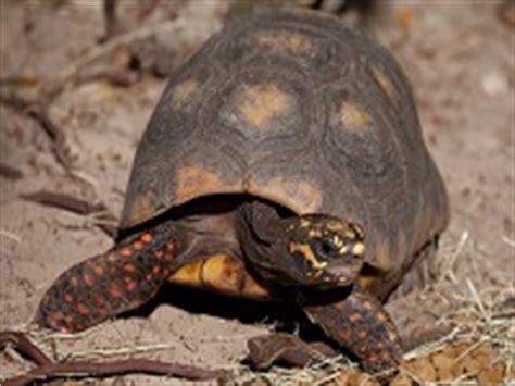 alimentazione tartaruga terrestre alimentazione tartarughe terrestri tartapedia