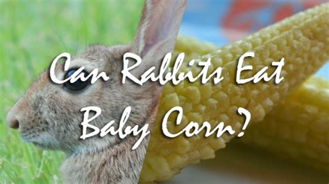 can rabbits eat baby corn pet consider