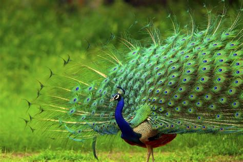 colorful peacock images latest hd pictures downloads
