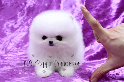 pomeranian maltese puppies for sale ms puppy connection puppies for sale