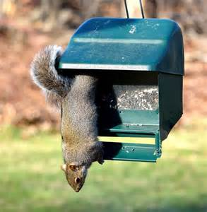 the best squirrel proof bird feeder the attic pest authority