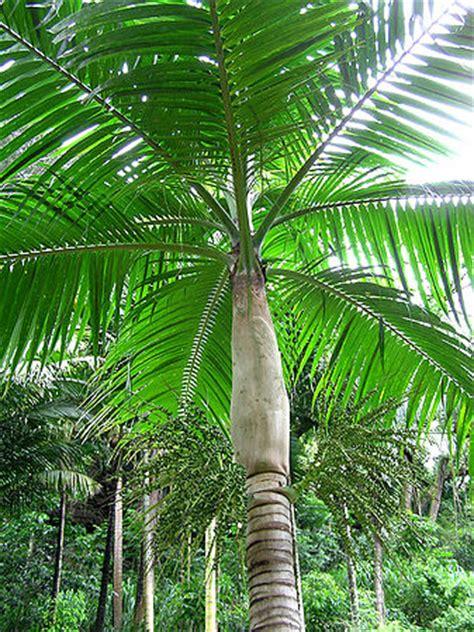 dictyosperma album palms  california