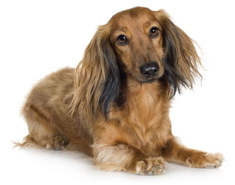 hair weiner the dachshund with legs