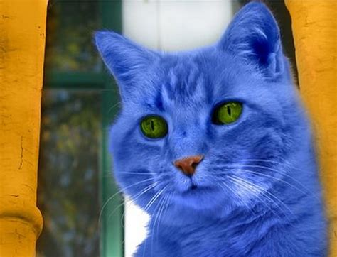 blue cats blue cat 3 photo cat dompict