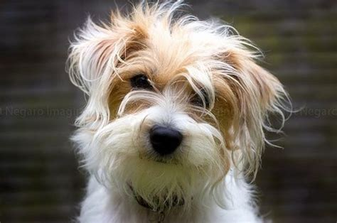haircut ideas for long hair jack russell dogs 17 best ideas about jack russell terriers on pinterest