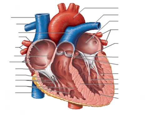 frontal section of the heart frontal section of the human heart