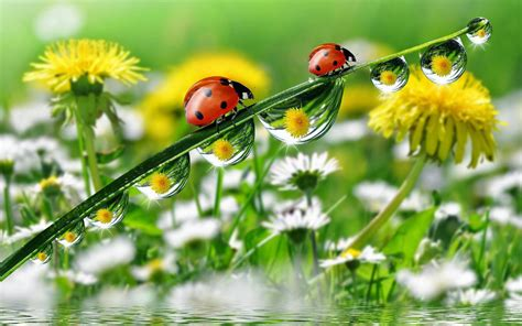 morning dew drops grass  water ladybug yellow meadow