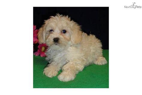 shih tzu bichon puppies for sale in missouri shih poo shihpoo puppy for sale near joplin missouri ce5667d6 70a1