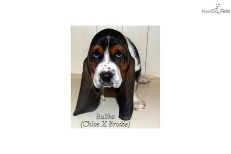 basset hound puppies oregon basset hound puppy for sale near portland oregon e4d327a9 59e1