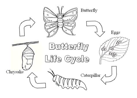 coloring pages butterfly life cycle butterfly life cycle activities