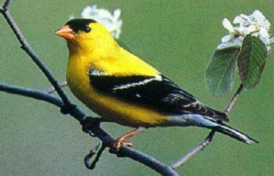 washington state bird facts goldfinch facts