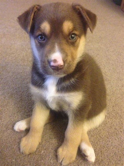 german husky puppies this is my new puppy nala she s a german shepard husky mix imgur