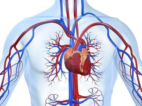 ecodoppler vasi epiaortici il corpo umano i suoi apparati e i sistemi visti da