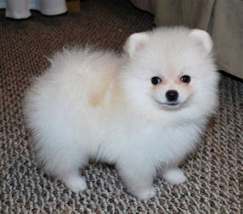 husky pomeranian mix grown for sale 200 best images about teacup dogs on yorkie puppies for sale yorkie for