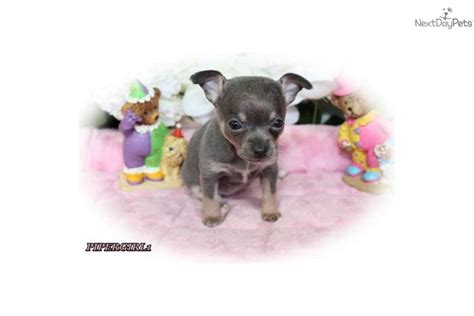 chihuahua puppies for sale in knoxville tn chihuahua for sale for 500 near knoxville tennessee 129a2155 c041