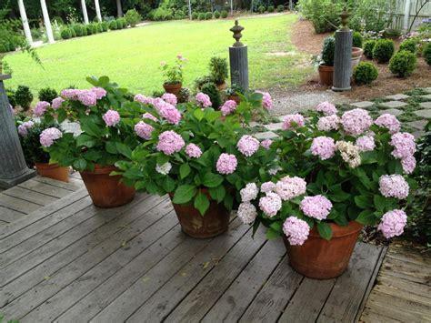 growing hydrangeas  pots diy