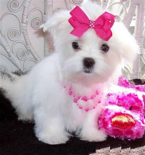 maltese puppies for sale 301 moved permanently