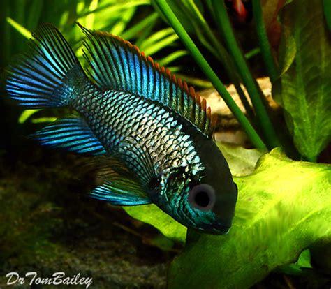 New Smiling Methalic metallic blue acara for sale aquariumfish net