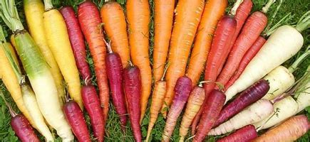 carrot colors a rainbow of carrot colors
