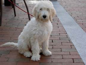 white goldendoodle puppy white goldendoodle animals goldendoodle and goldendoodles