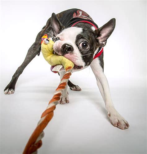 tug of war with puppy tug of war animal stock photos kimballstock